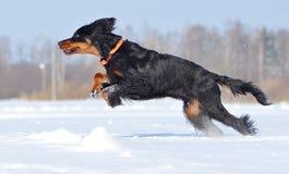 Gordon Setter enjoys Winter. Gordon Setter running and jumping across the field stock photos