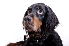 Gordon setter face. Focused look on the face of a gordon setter Royalty Free Stock Photo