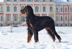 Gordon Setter genießt Winter stockfoto