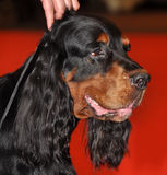 Gordon Setter-hond Stock Afbeeldingen