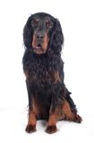 Gordon setter Royalty Free Stock Images