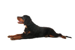 Gordon setter laying down Royalty Free Stock Photography