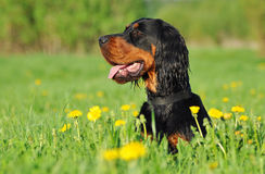 Gordon Setter laying down in a green grass. With dandelions Royalty Free Stock Photos