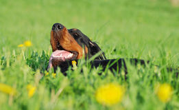 Gordon Setter laying down in a green grass Stock Photos