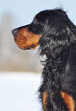 Gordon Setter no inverno Foto de Stock Royalty Free