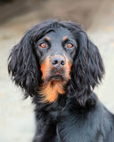 Gordon setter Stock Photos