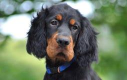 Gordon Setter-puppy in de zomer Royalty-vrije Stock Afbeelding