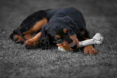 Gordon_setter_puppy_dog 免版税库存照片