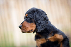 Gordon_setter_puppy_dog 库存图片