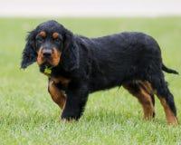 Gordon Setter-puppy het stellen op het gras Stock Afbeeldingen