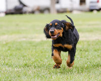 Gordon Setter puppy running Royalty Free Stock Image