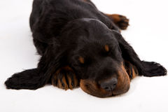 Gordon setter puppy sleeping on white background, dog Royalty Free Stock Photo