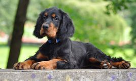 Gordon Setter puppy in the summer. Gordon Setter puppy's laying down in the park Royalty Free Stock Photography