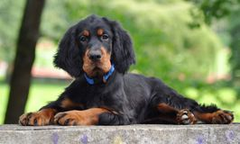 Gordon Setter puppy in the summer. Gordon Setter puppy's laying down in the park Royalty Free Stock Photo