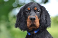 Gordon Setter puppy in the summer. Gordon Setter puppy's portrait in the summer Stock Image