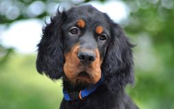 Gordon Setter puppy in the summer. Gordon Setter puppy's portrait in the summer Royalty Free Stock Image