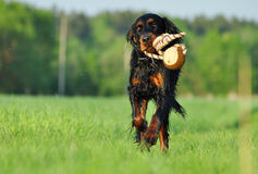 Gordon Setter running across the field. With a ball in his mouth Royalty Free Stock Images