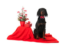 Gordon Setter som julhund Royaltyfri Bild