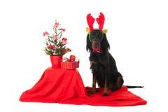 Gordon Setter som julhund Arkivfoto