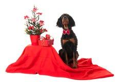Gordon Setter som julhund Arkivbild
