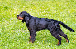 Gordon Setter stands. Royalty Free Stock Images