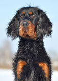Gordon Setter in winter. Gordon Setter's portrait in beautiful winter's day Royalty Free Stock Photography
