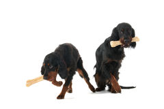 Gordon setters with big bones Royalty Free Stock Photos