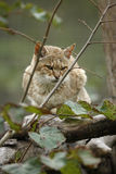 Gordons wildcat, Felis silvestris gordonoi. Captive, native to Africa Stock Photo