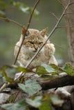 Gordons-Wildkatze, Felis silvestris gordonoi Stockfoto
