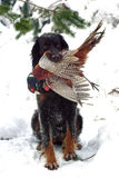 Gordonsetter Stock Photo