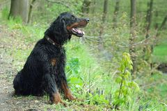 Gordonsetter. Hunting dog,gordonsetter. A dog sitting in the woods Royalty Free Stock Photography