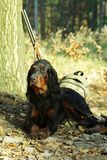 Gordonsetter hunting dog. Resting in the woods during hunting. Dog guard backpack and weapon of his master Stock Photo
