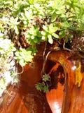 Gordura da planta Fotos de Stock