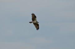 Goregous Osprey in Flight. Osprey bird in flight across a blue sky stock image