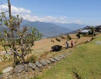 Gorepani, N?pal Avril 5,2015 : Le mari et l'?pouse labourent la terre avec des vaches image stock