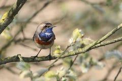 Gorge bleue dans l'arbre Images libres de droits