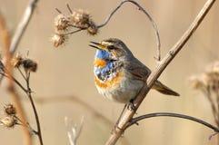 Gorge bleue de chant à l'herbe sèche Photographie stock libre de droits
