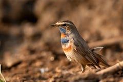 Gorge bleue mâle Images libres de droits