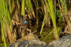 Gorge bleue se reposant sur une pierre dans le roseau - svecica de Luscinia Photos libres de droits