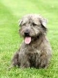 Gorge irlandaise de chien terrier d'Imaal Photographie stock libre de droits