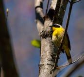 Gorge jaune commune images libres de droits