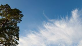 Gorgeoouse view of green pine tree top on blue sky with white clouds background. Beautiful nature backgrounds.