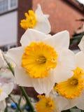 Gorgeoue Gele Gele narcissen omhoog dicht in de Lente royalty-vrije stock afbeelding