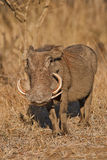 Gorgeous. Warthog in the sun, South Africa Royalty Free Stock Photography