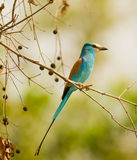 The gorgeous Abyssinian Roller. With the incipient sunlight illuminating it´s plumage, the beauty of the Abyssinian Roller (Coracias abyssinica) can be properly Royalty Free Stock Photos