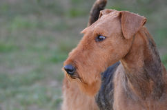 Gorgeous Airedale Terrier Dog royalty free stock photos