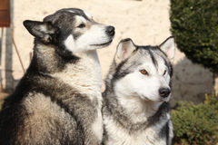 Gorgeous Alaskan Malamutes in the garden Royalty Free Stock Image