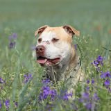 Gorgeous American Pit Bull Terrier in flowers Stock Photos