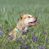 Gorgeous American Pit Bull Terrier in flowers Stock Photography
