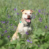 Gorgeous American Pit Bull Terrier in flowers Stock Image